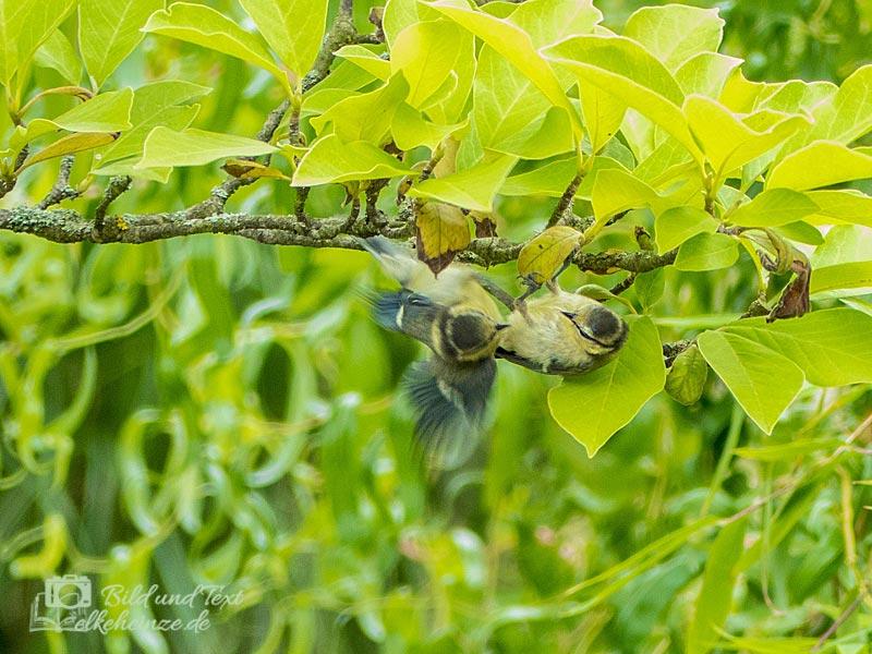 Junge Meisen am Magnolienzweig