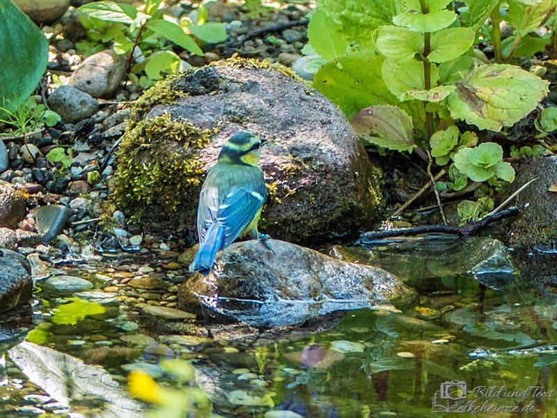 Blaumeise im Teich