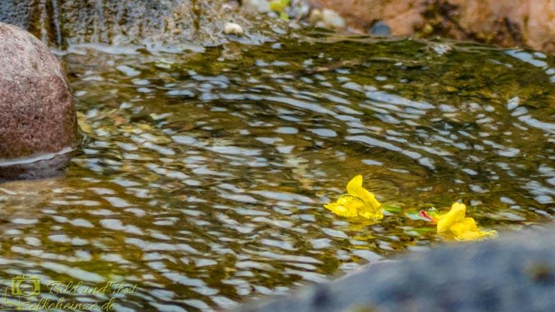 Mimulusblüten auf dem Wasser