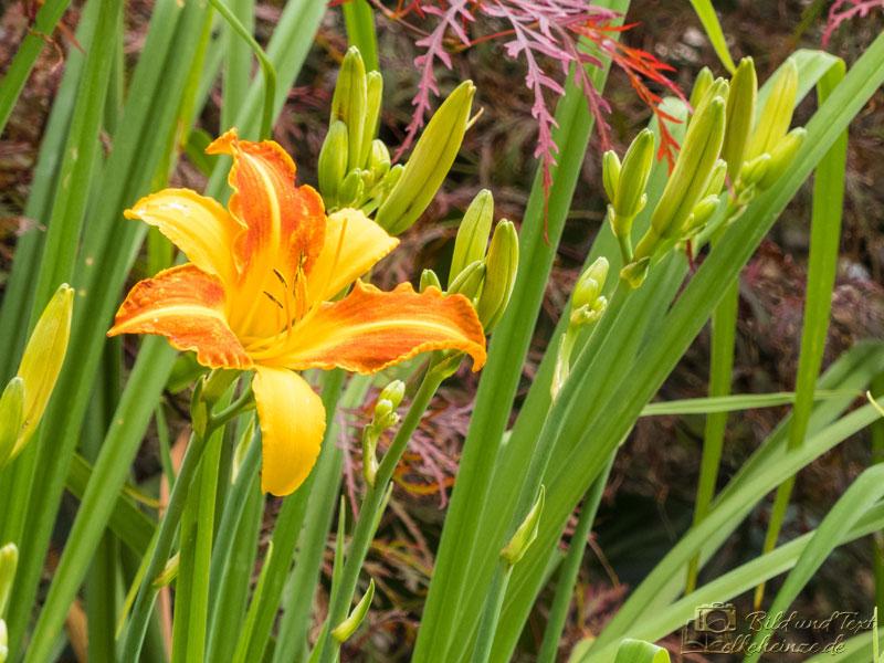 Taglilie orange-gelb