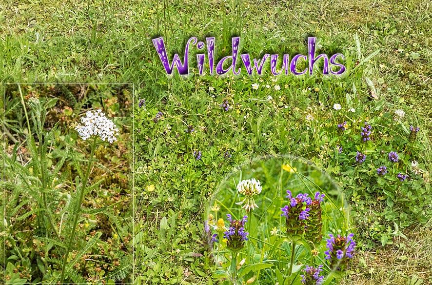 Wiesenblumen & Kräutermedizin