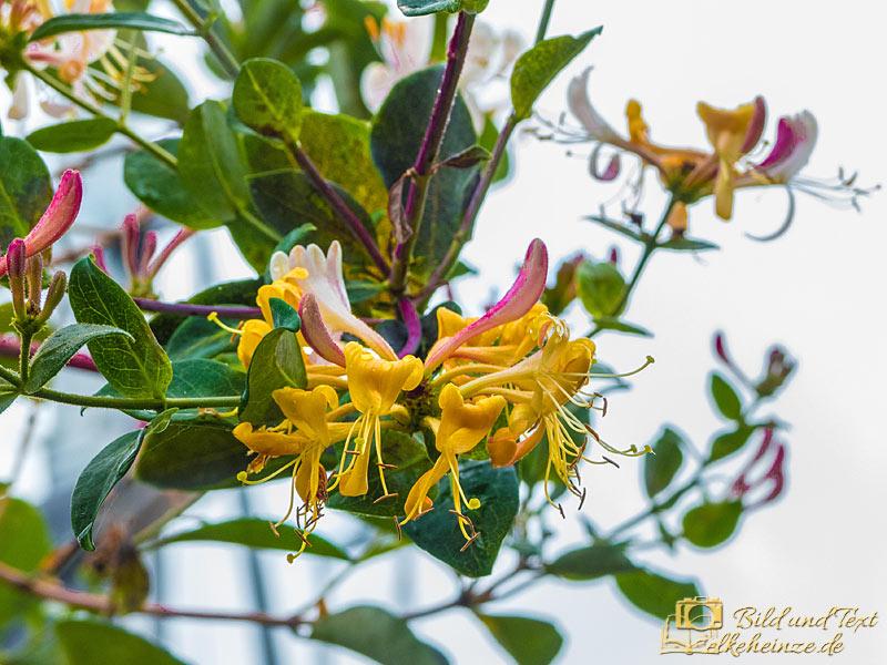 Geißblattblüte-nah