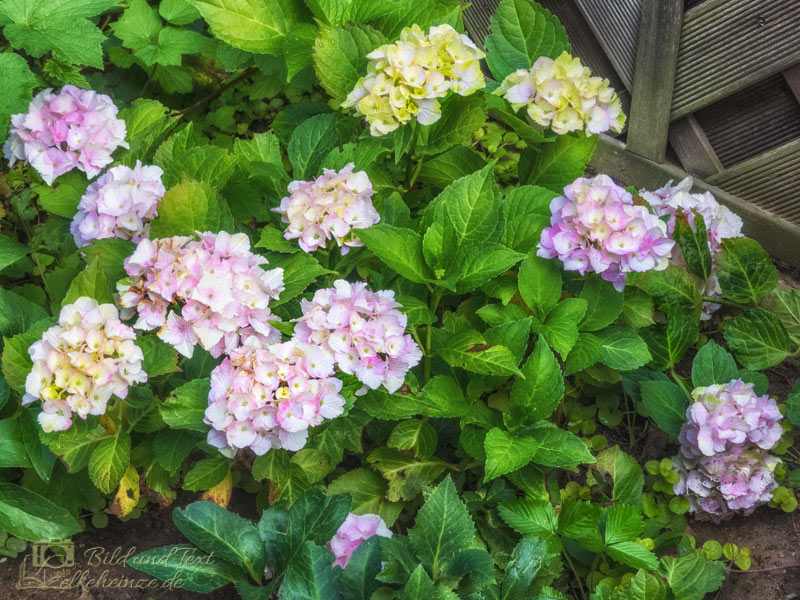 Hortensie-Hydrangea_Four-Seasons