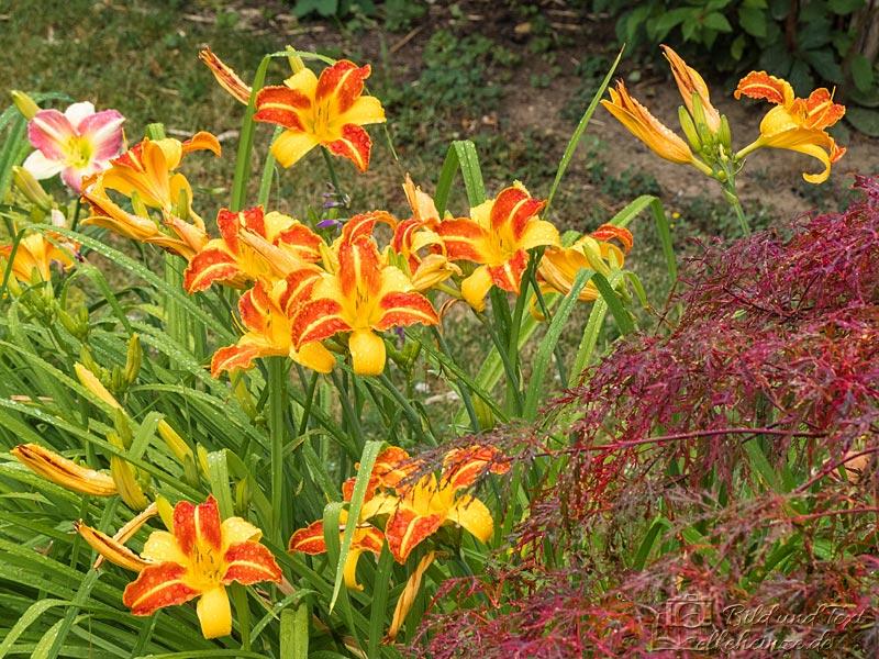 Taglilien und Zierahorn