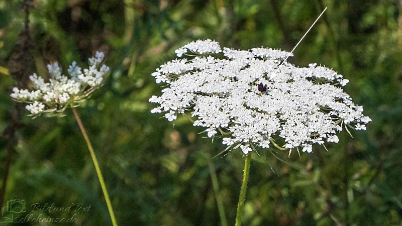Blüte der Wilden Möhre