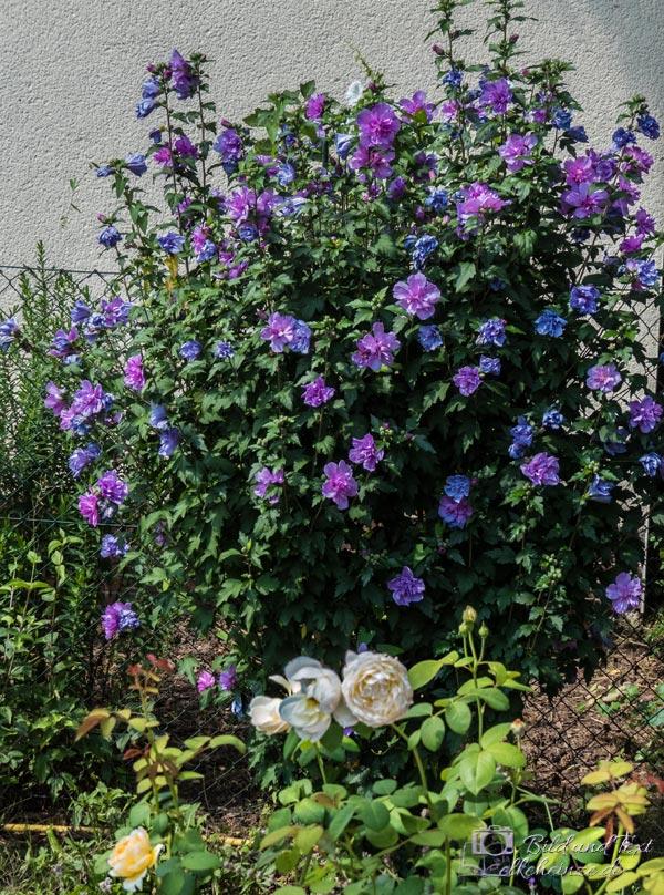Gefüllter, lila Gartenhibiskus
