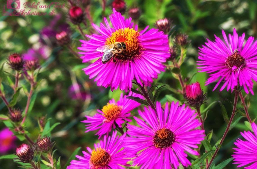 Lila Strahlenaster mit Biene