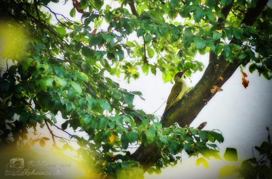Grünspecht im Baum