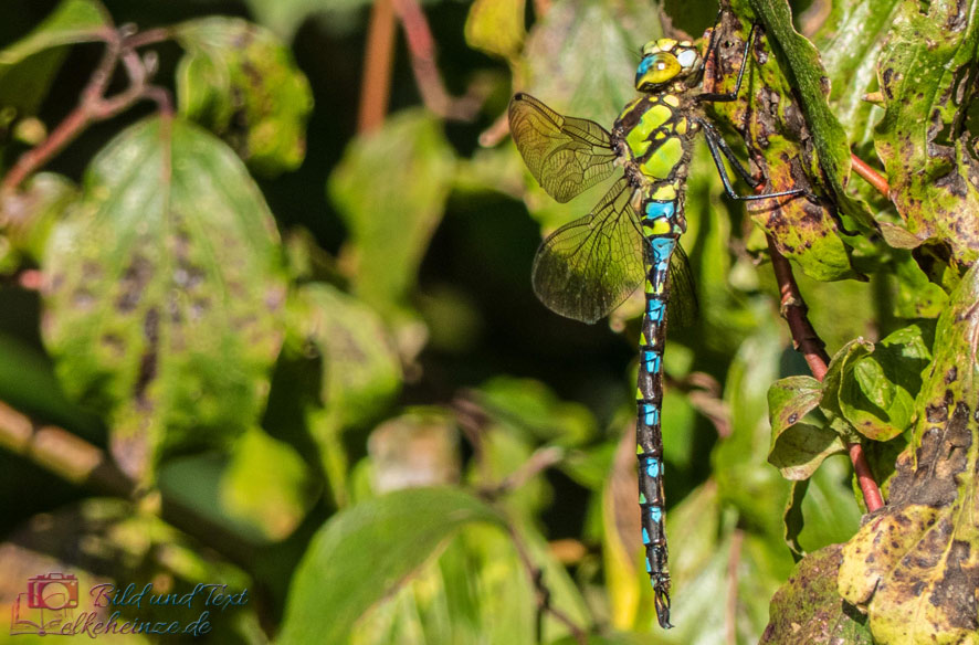 Blaugrüne Mosaikjungfer2