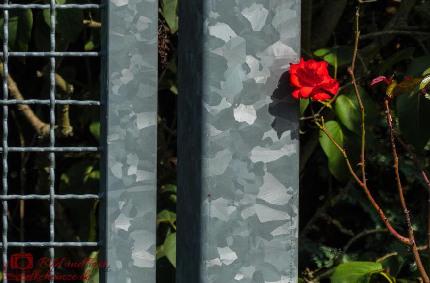 Tor mit roter Rose