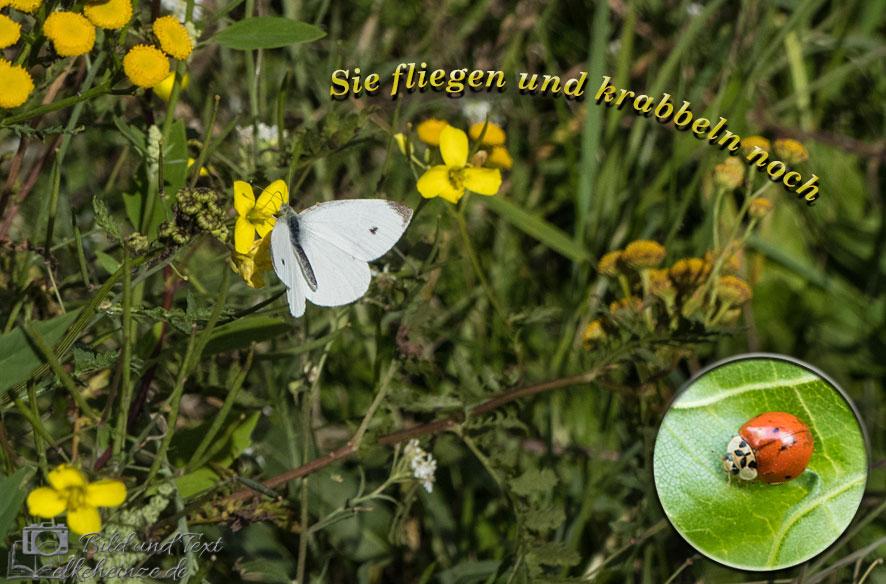 Kohlweißling und Marienkäfer