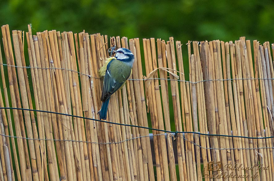 Blaumeise am Zaun