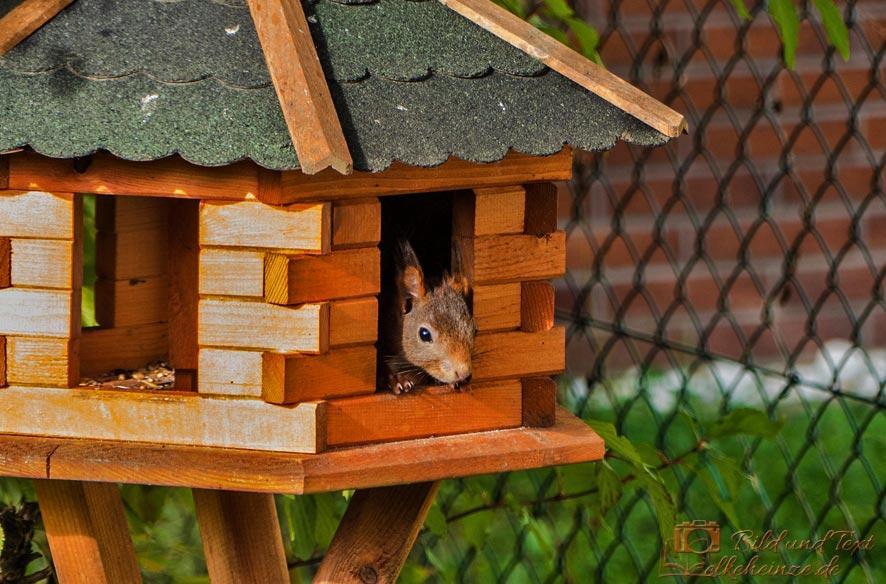 Eichhörnchen im Futterhaus