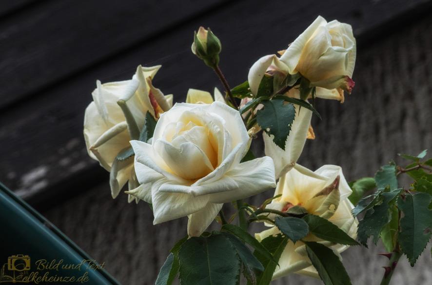 Rose-Ilse-Krohn