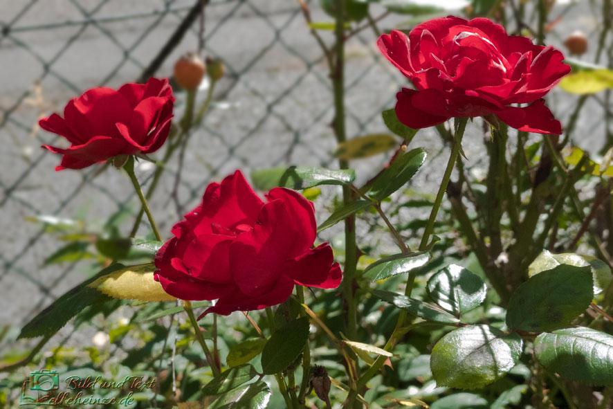 Rote Rosen im Vorgarten