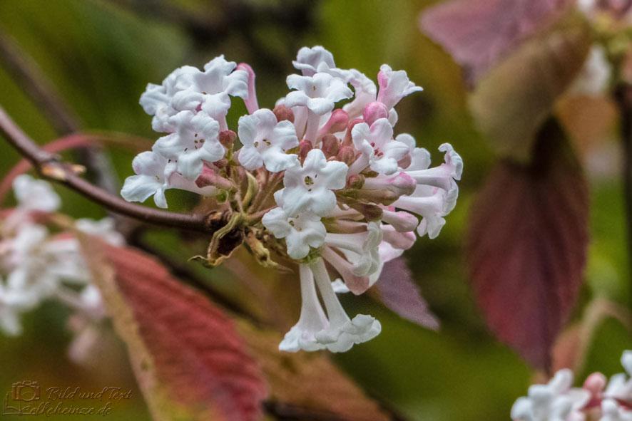 Duftschneeballblüte
