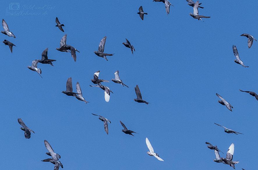 Ein Taubenschwarm