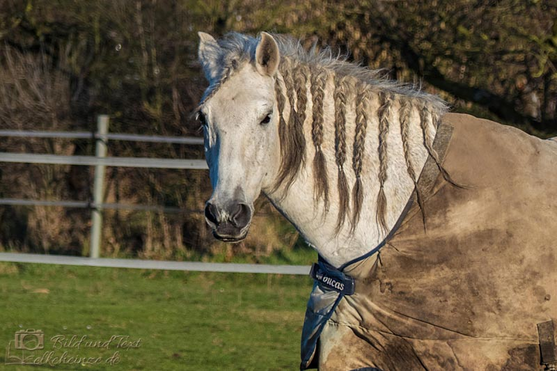 Pferd mit Zöpfen