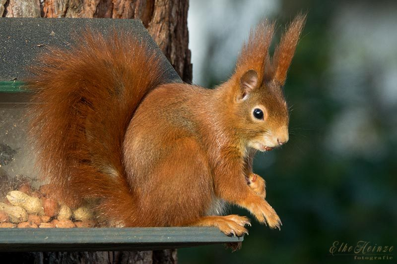 Dezember - Eichhörnchen durchs ganze Jahr
