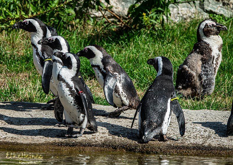 August - Pinguine im Opelzoo