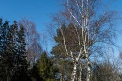 Birken im Arboretum