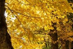 Blattgold im Herbst