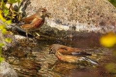 Zwei Bluthänflinge im Teich