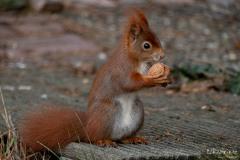 Eichhörnchen Mai 2020