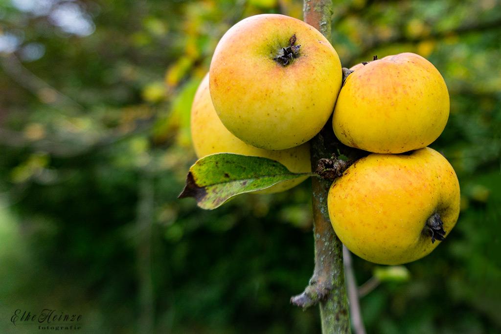 Äpfel auf Streuobstwiese
