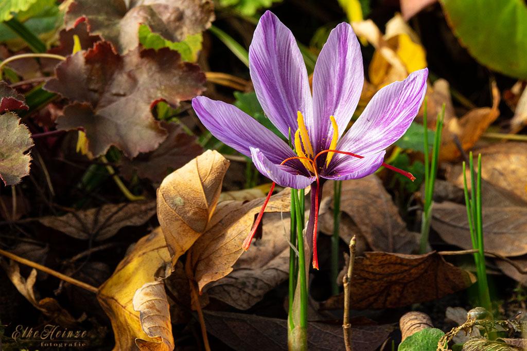 Crocus sativus - Safrankrokus