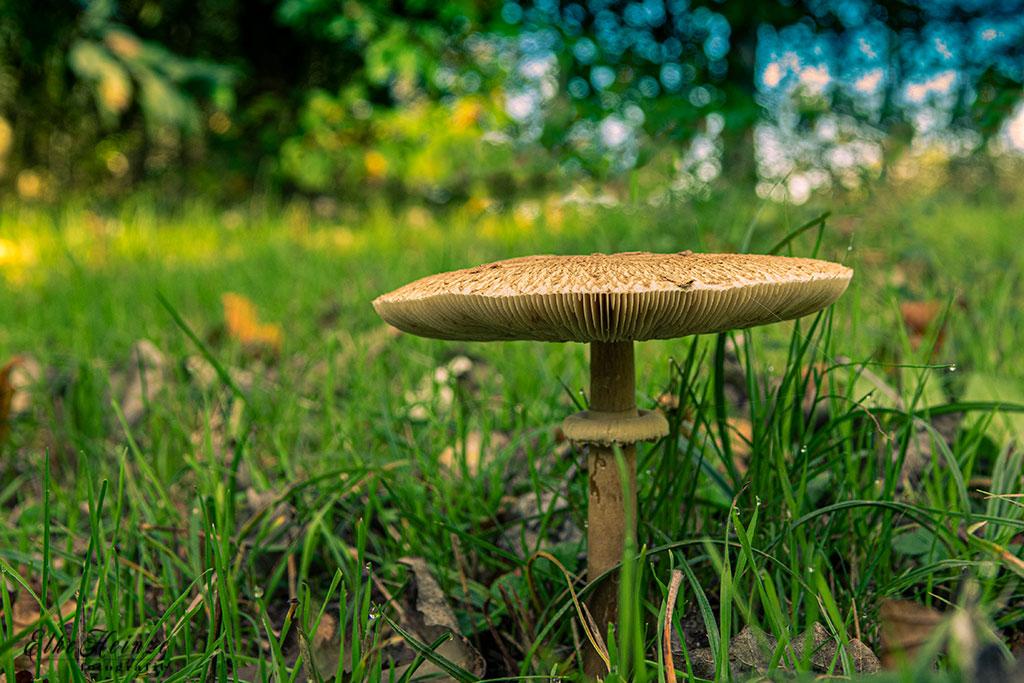Pilz in den Weilbacher Wiesen