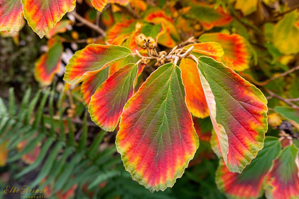 Hamamelis - volle Herbstfärbung