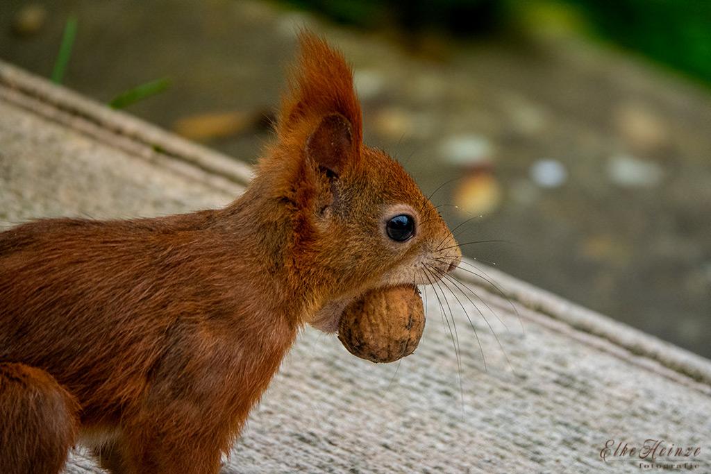 Eichhörnchen sorgt für Wintervorrat
