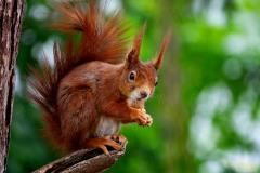 Mai-Hörnchen