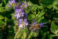 Honigbiene an Phaceliablüte