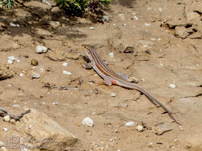 Algerische Sandläufer (Psammodromus algirus)