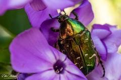 Bronze-grüner Rosenkäfer