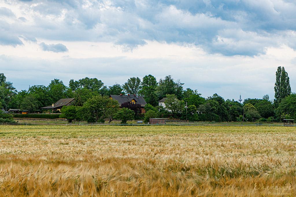 Getreidefeld,Juni 2020