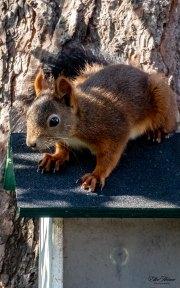 Immer beliebt: Eichhörnchen