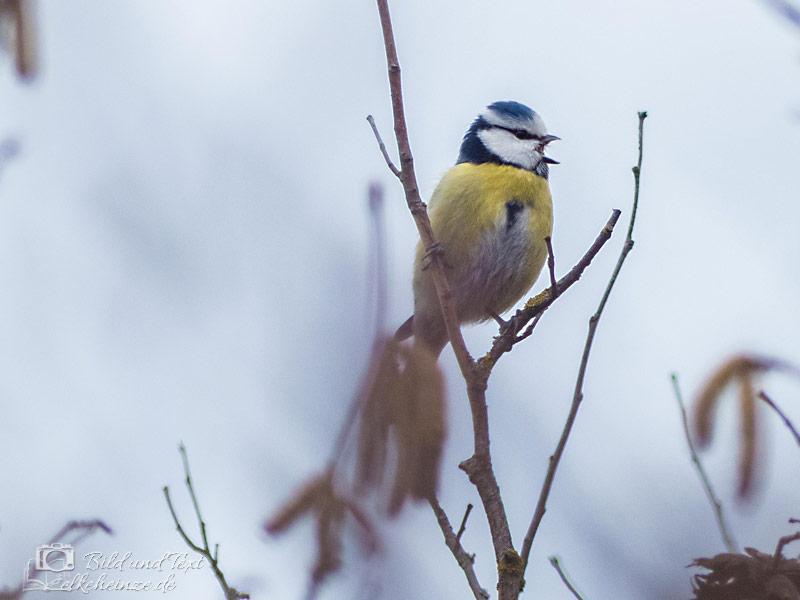 Blaumeise -Winter