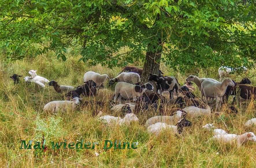 Schafherde in der Schwanheimer Düne