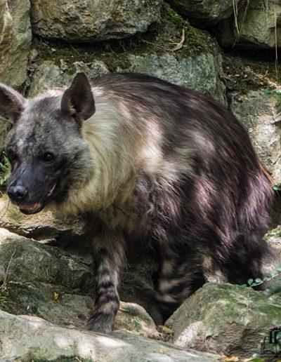 Braune Hyäne