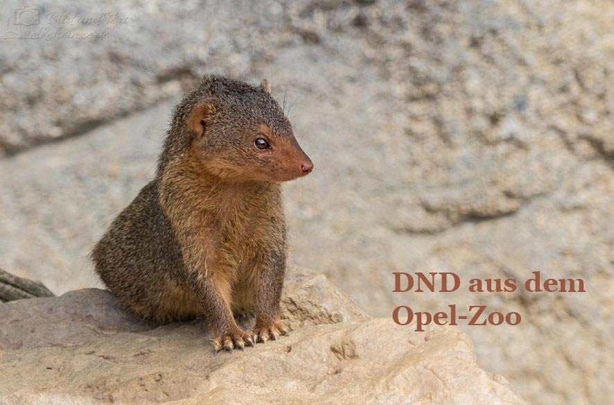 DND aus dem Opel-Zoo