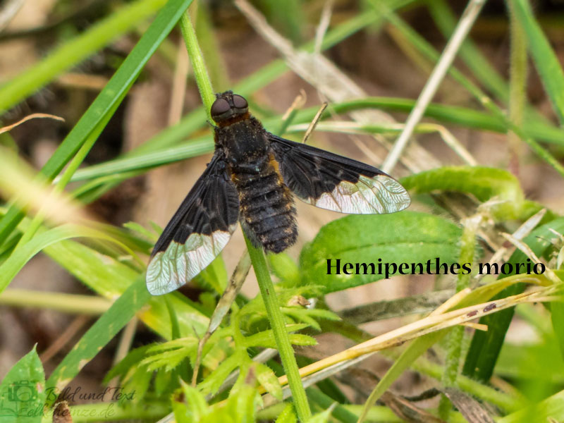 Schwebfliege Hemipenthes morio