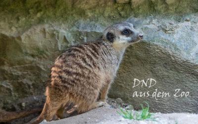 DND – Erdmännchen, kleine Raubtiere