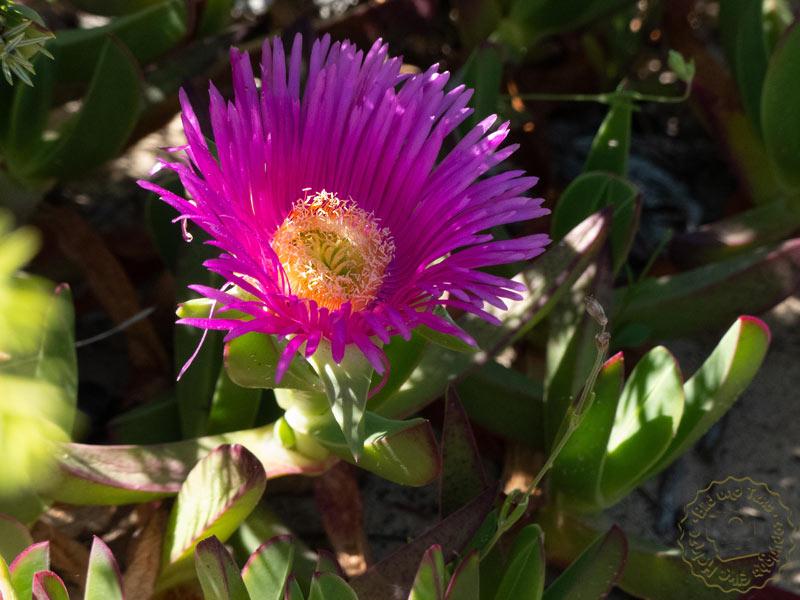 Hottentottenfeide oder Essbare Mittagsblume