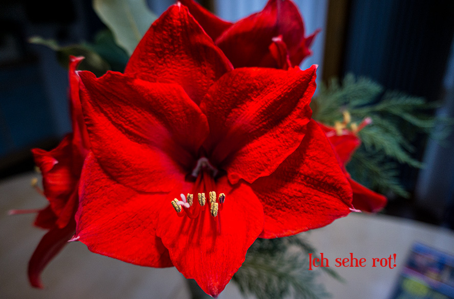 Ich sehe rot: Amaryllisblüte