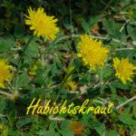 Das Habichtskraut - Freitagsblümchen