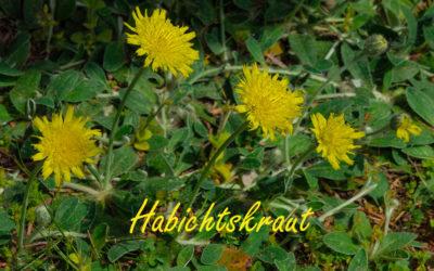 Das Habichtskraut – Freitagsblümchen