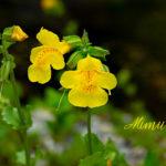 Mimulus - Kleine Gaukler